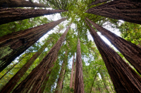 O-REDWOOD-TREES-facebook
